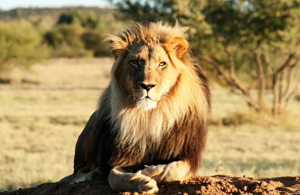 Lion du parc etosha